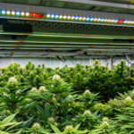 Growing cannabis indoors with LED lights